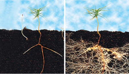 Mycorrhizae before and after